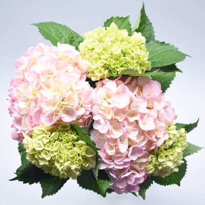 Colombian flowers hydrangea marketer